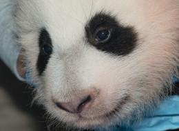 national zoo panda name
