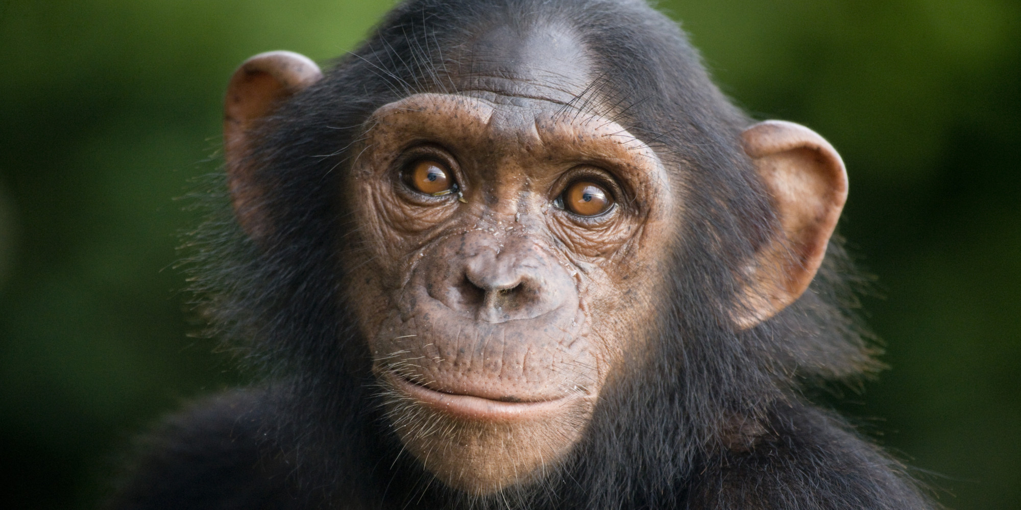 Chimpanzees Sue For Their Freedom (With A Little Human ...