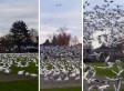Run -- Don't Walk -- From The 'Geese Tsunami' (VIDEO)