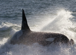 orcas hunt seals