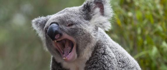 KOALA SOUNDS