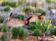 Chevron And ALEC Take On The Big, Bad Lesser Prairie Chicken