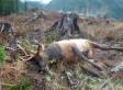 Elk Killing Near Port Alberni Nets $25,000 Reward