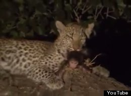 WATCH: Leopard Cub Adopts Her Prey's Baby, Shows What We Can Learn From The Animal World