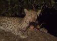 Leopard Cub Adopts Her Prey's Baby, Shows What We Can Learn From The Animal World