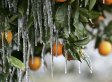 California Citrus Groves In Danger Of Freezing: 'If It Gets Too Cold, It Can Be A Curse'