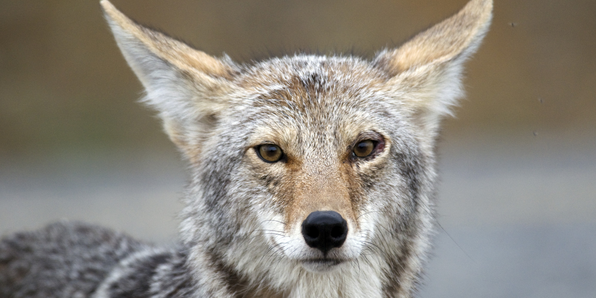 coyote running wild on i 55 stevenson expressway delays morning rush before dashing off video. Black Bedroom Furniture Sets. Home Design Ideas