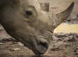 Steep Drop in Rhino Horn Use in Vietnam