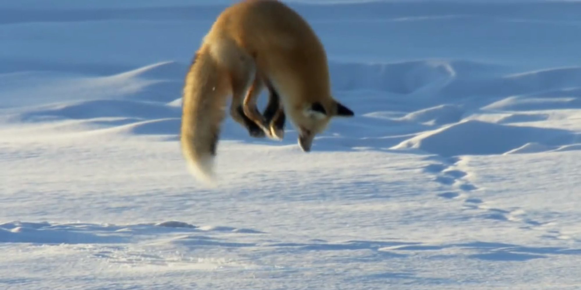 Red Fox Proves Diving For Food Isn T Just For Whales
