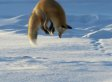 Red Fox Proves Diving For Food Isn't Just For Whales (VIDEO)