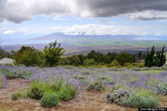 lavender fields maui