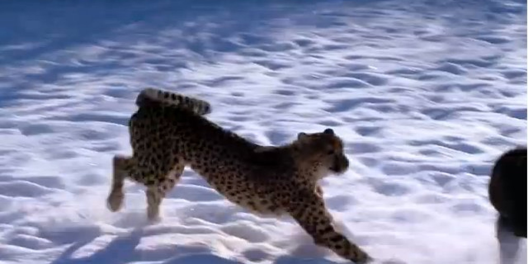 This Cheetah Is Hunting A Dog But Don T Worry It S