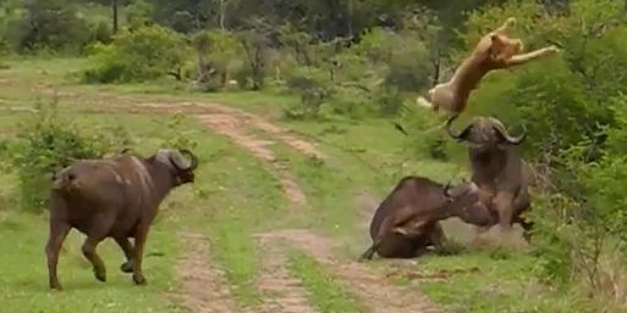 E Bison Fute VIDÉO. Un buffle ...