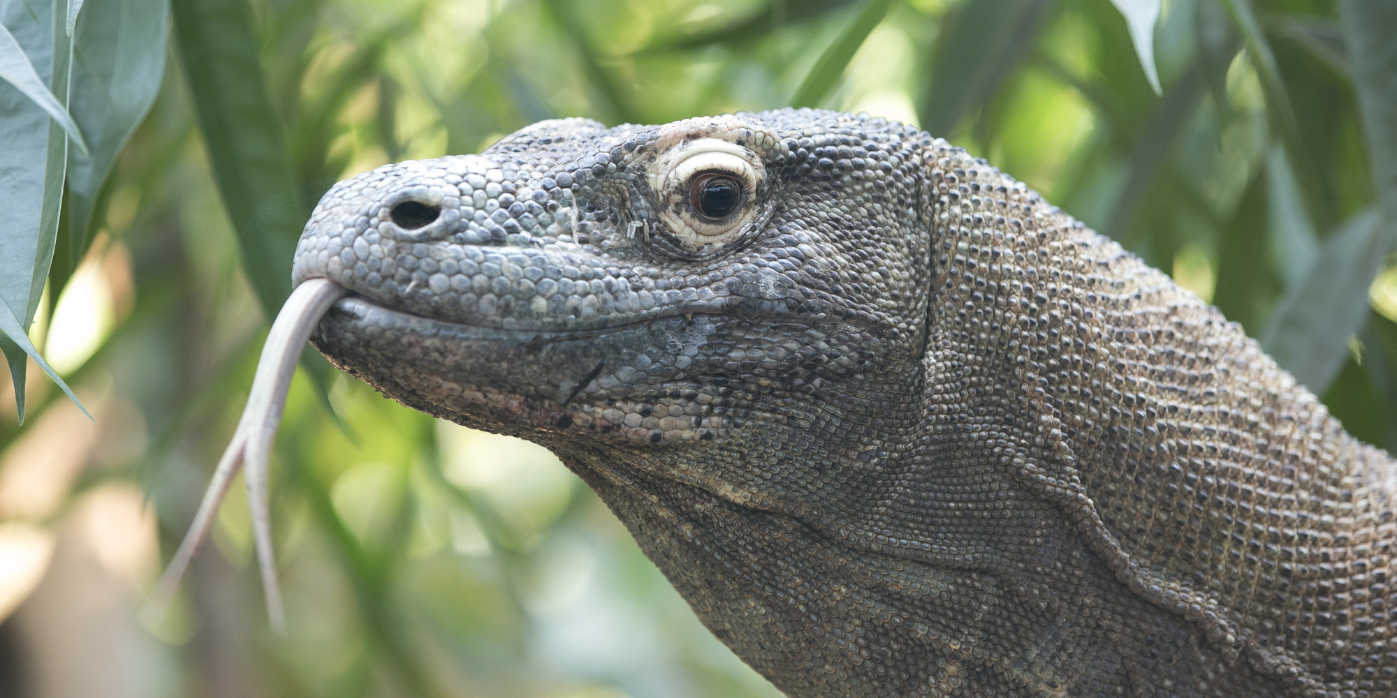 san antonio zoo 39 s komodo dragon killed in fire along with. Black Bedroom Furniture Sets. Home Design Ideas