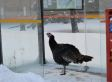 No Biggie, Just A Wild Turkey Waiting For The Bus