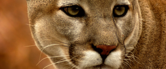 Canmore cougars killed