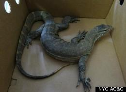 4-Foot Lizard In Brooklyn Likely Ate Rats To Survive