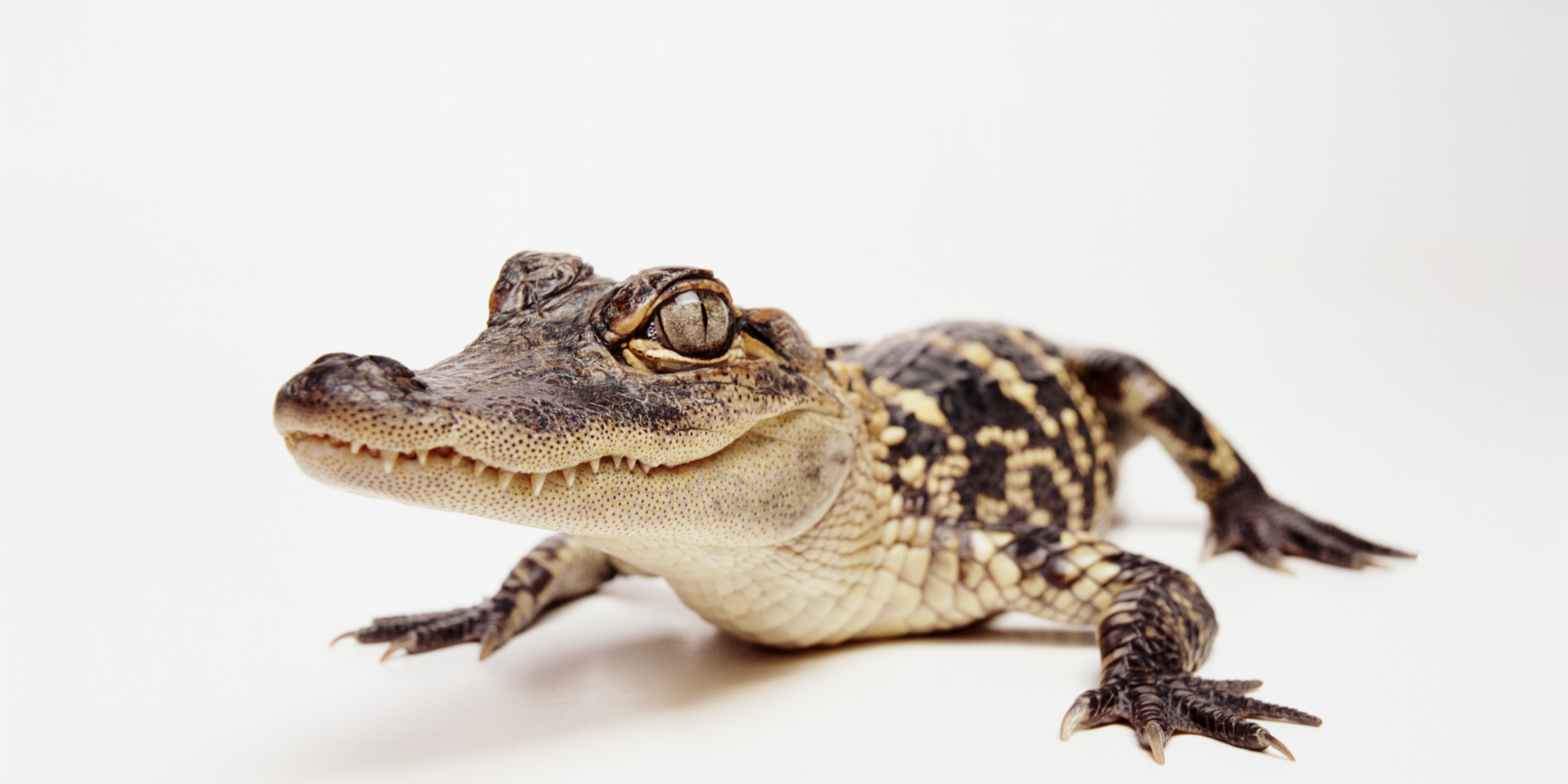 Florida Man Tries To Trade Alligator For Beer, Gets Cited | HuffPost