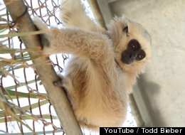 WATCH: Awesome Video Of Ape Rescue Center Puts Gibbons' Plight In Focus