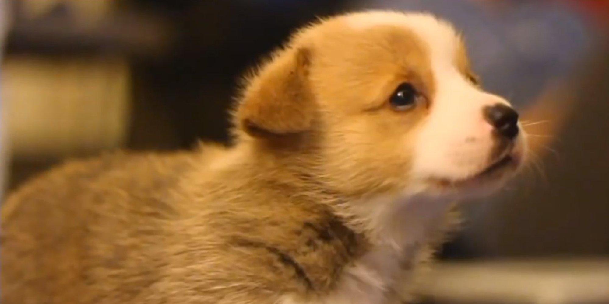 choose  tiny corgi puppy  cutest video