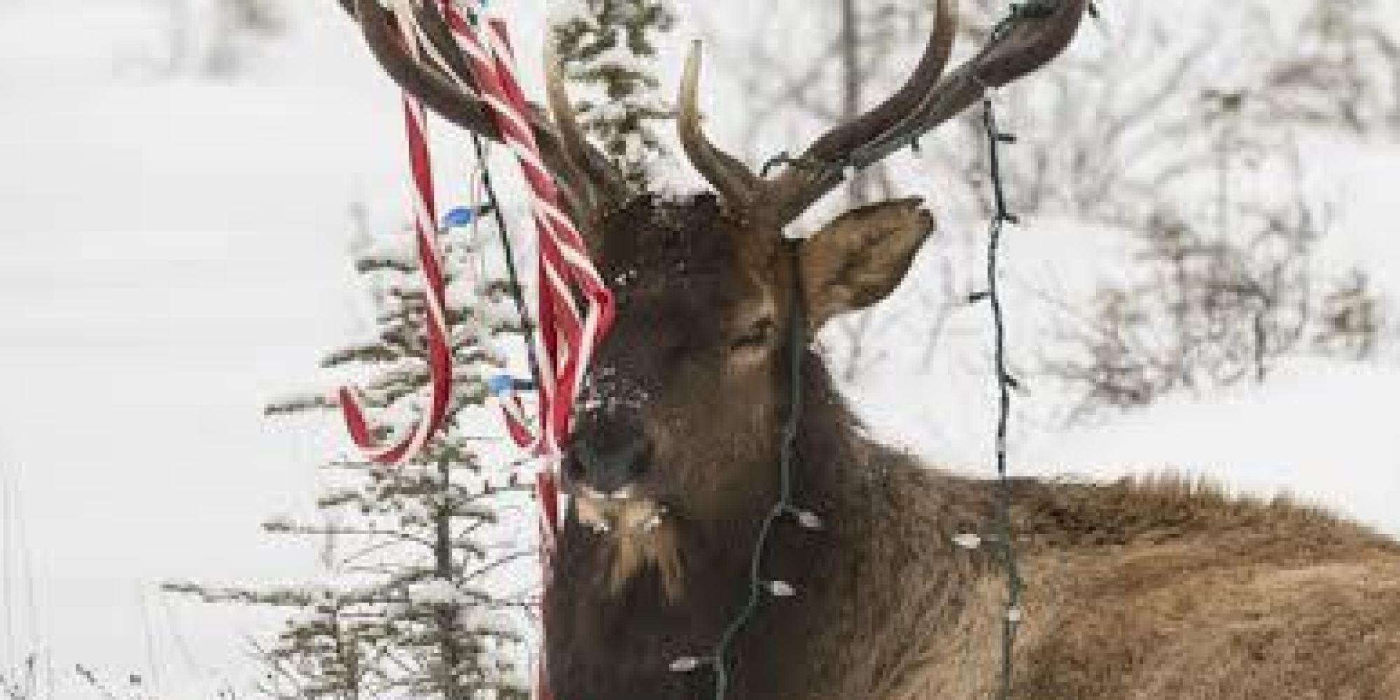 Elk Rescued After Christmas Lights Candy Canes Get Stuck
