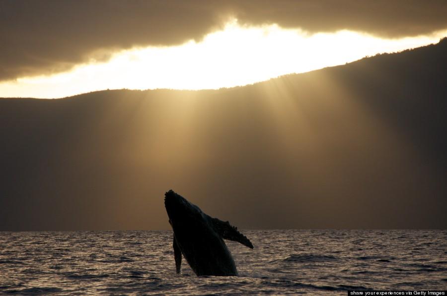 humpback whale hawaii