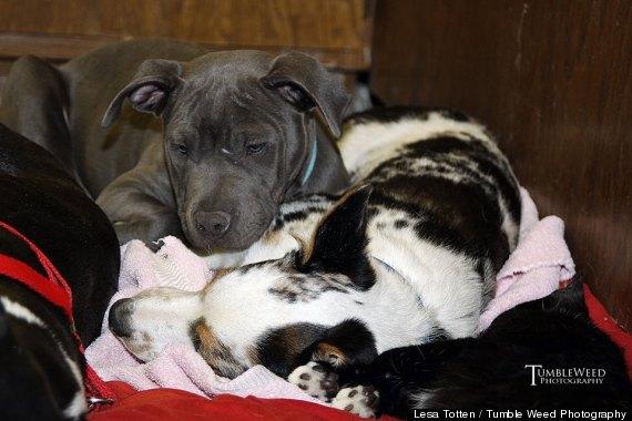 dominic comfort pit bull