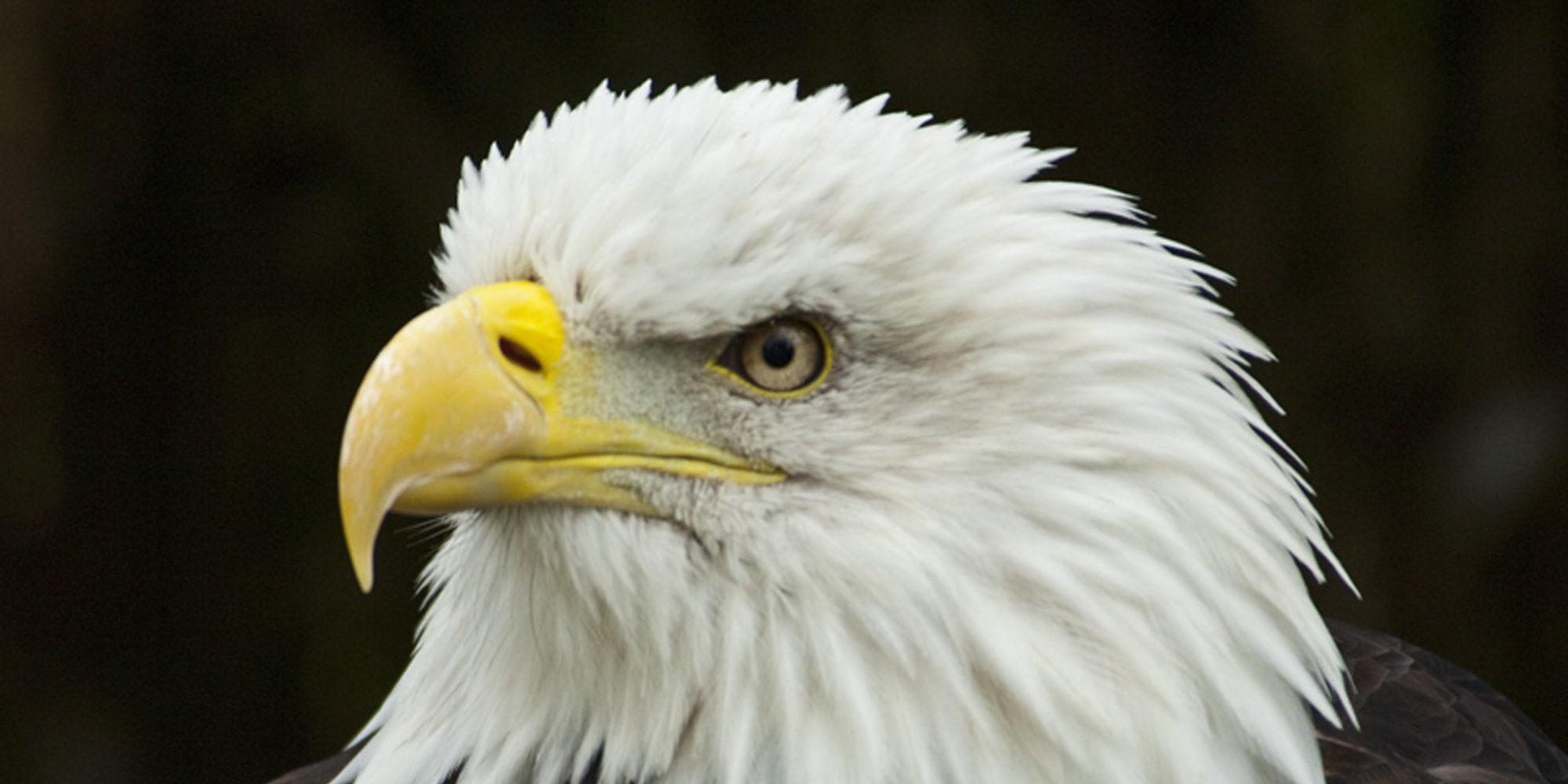 utah bald eagle deaths climb scientists   answers