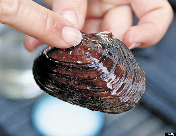 mussel north america