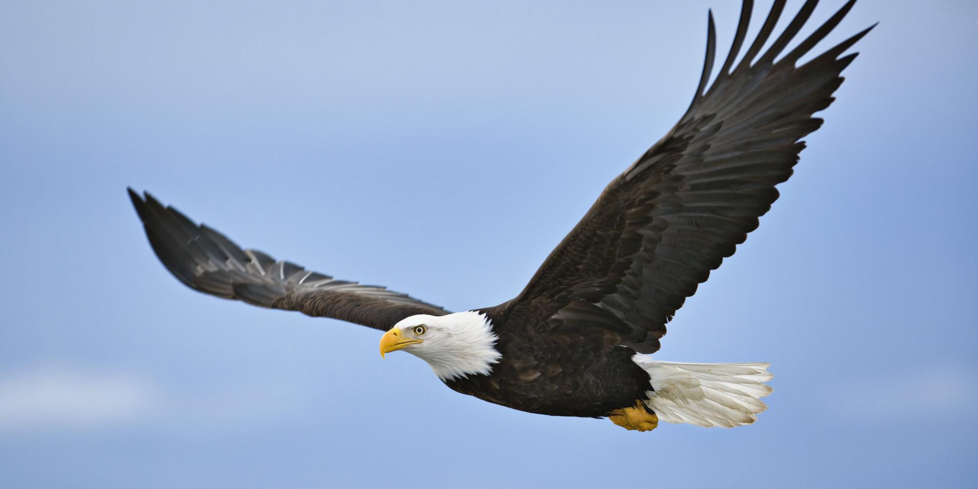 West Nile Virus Blamed For Death Of Dozens Of Bald Eagles ...