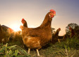 Chicken More Popular Than Beef In U.S. For First Time In 100 Years