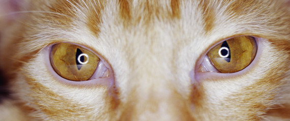 Can Cats Live With Glaucoma