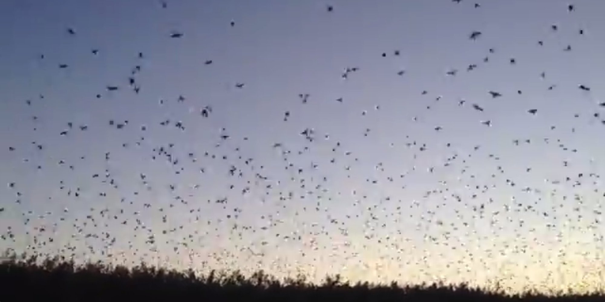 Thousands Of Tree Swallows Come To Roost In Front Of Your Eyes ...