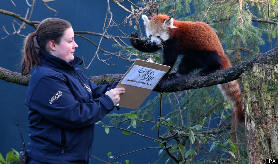 funny red panda picture chester zoo