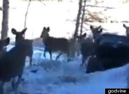 Man Invites Herd Of Deer Over For Breakfast