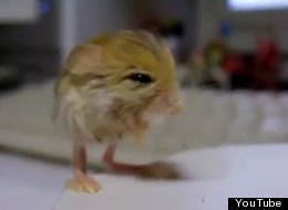 WATCH: The Pygmy Jerboa Is The Cutest Animal You've Never Seen