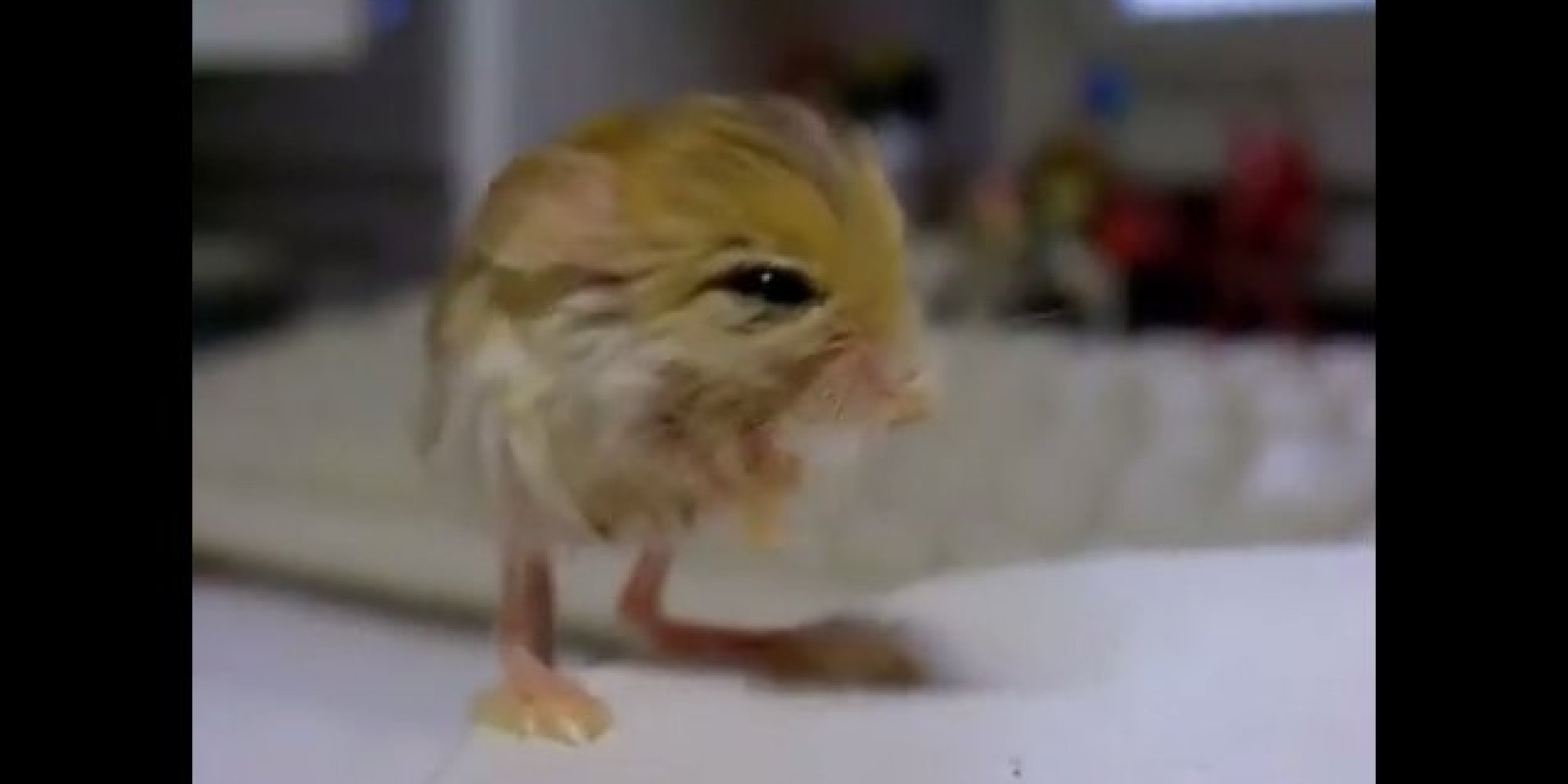 The Pygmy Jerboa Is The Cutest Animal Youve Never Seen