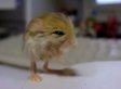 The Pygmy Jerboa Is The Cutest Animal You've Never Seen (VIDEO)