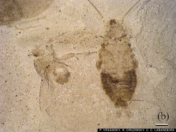 cockroach fossils