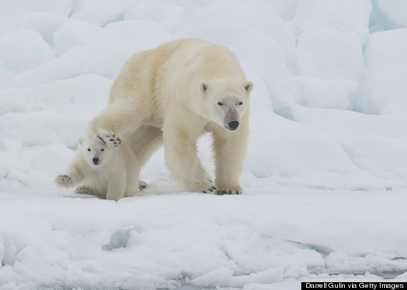 polar bears svalbard