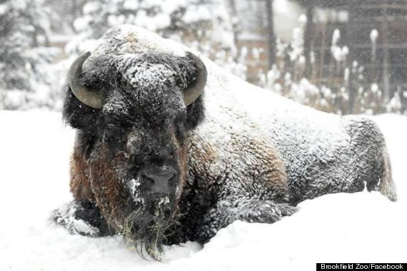 ron bison