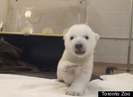 WATCH: A Polar Bear Cub's First Steps Are Just As Adorable As You'd Imagine