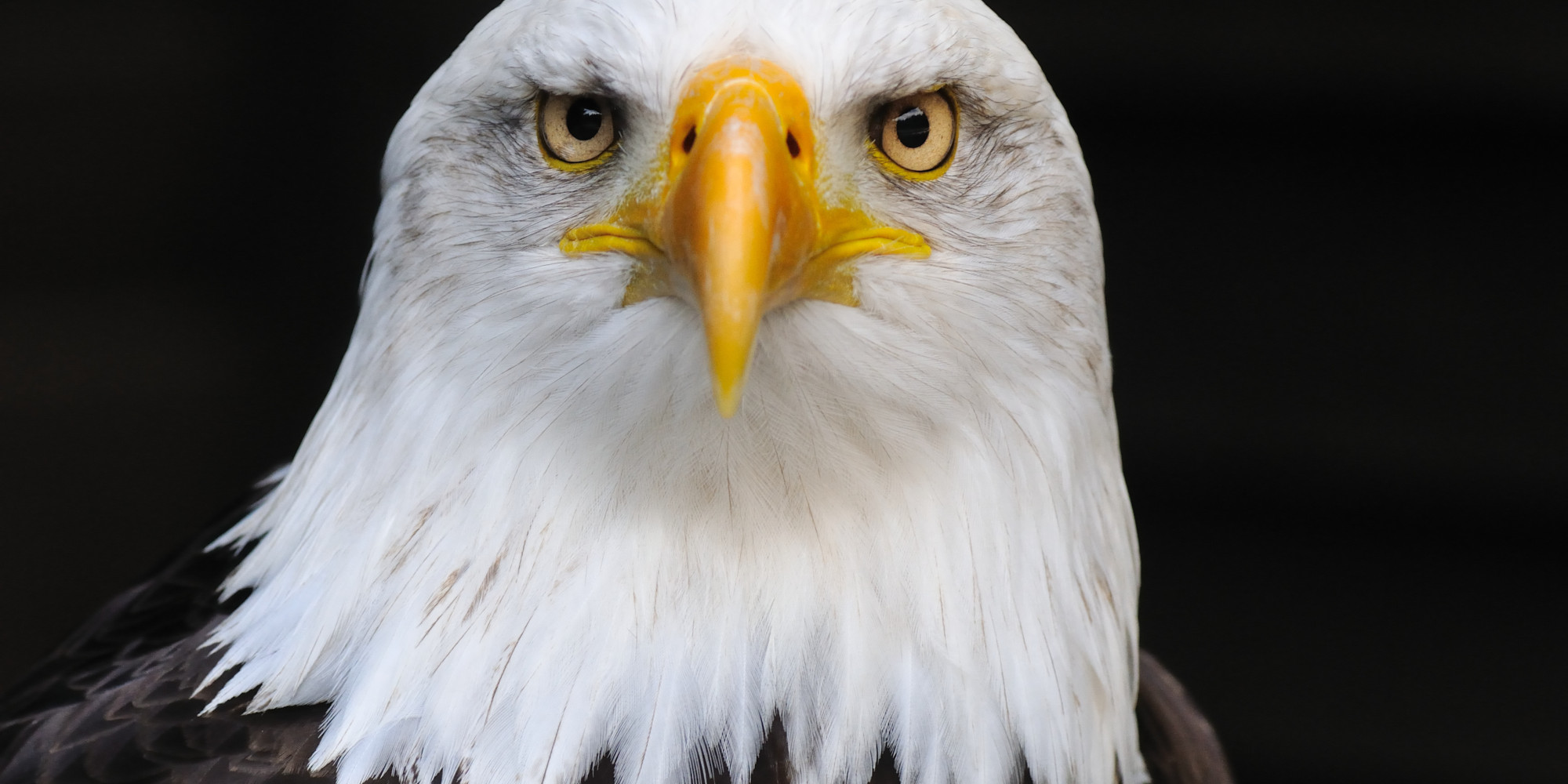 Bald eagle head front - photo#8
