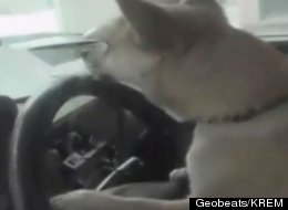 WATCH: This Is Why Chihuahuas Shouldn't Drive