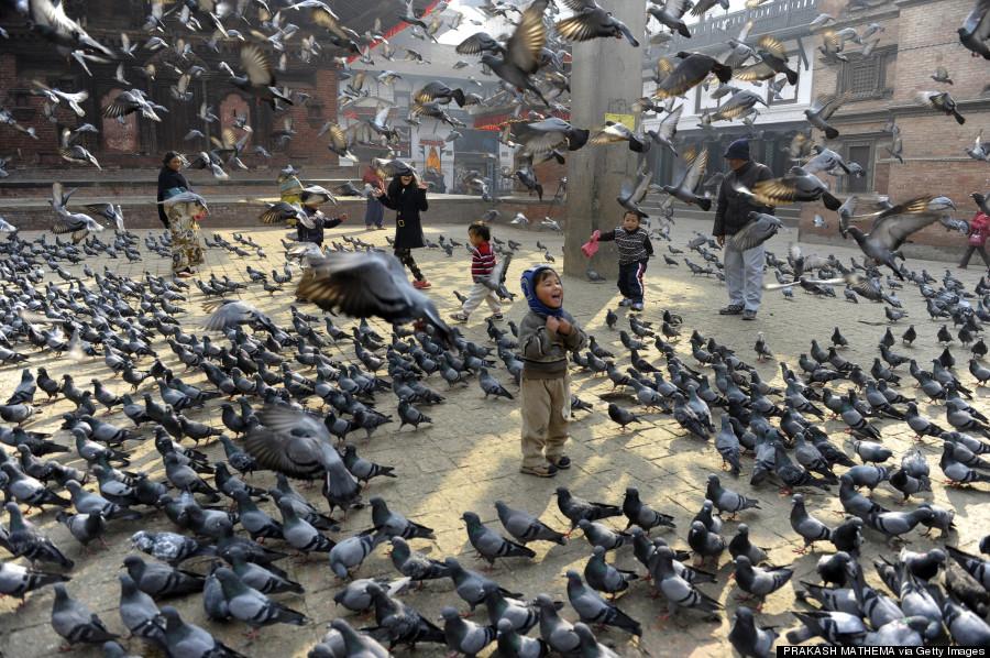 nepal pigeons