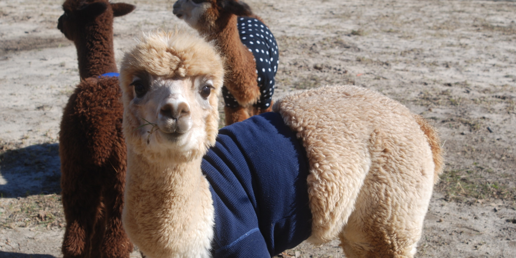 Baby Alpacas Wearing Sweaters Will Give You Something To