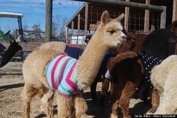 alpacas wearing sweaters