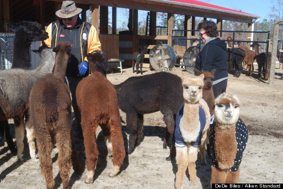 alpacas wearing sweaters