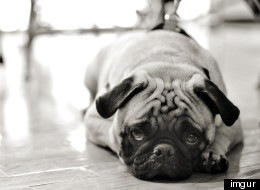 Adorable Pug Shows Us How Exhausting Weddings Can Be