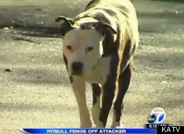 This Is Proof That A Pit Bull Will Go To Any Lengths To Save His Owner